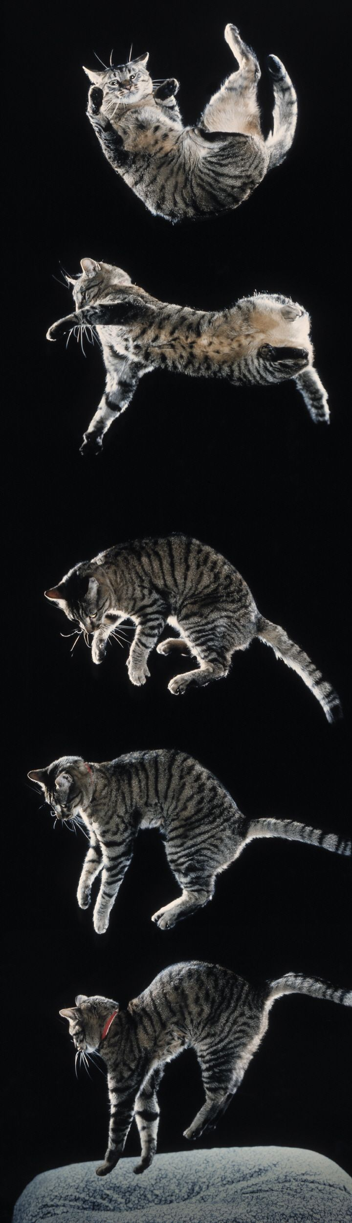 How cats land on their feet. #cats #cat #animals #maths By Ian Stewart, author of 'Cows in the Maze'
