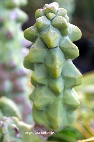 rare columnar, spineless cactus from Mexico