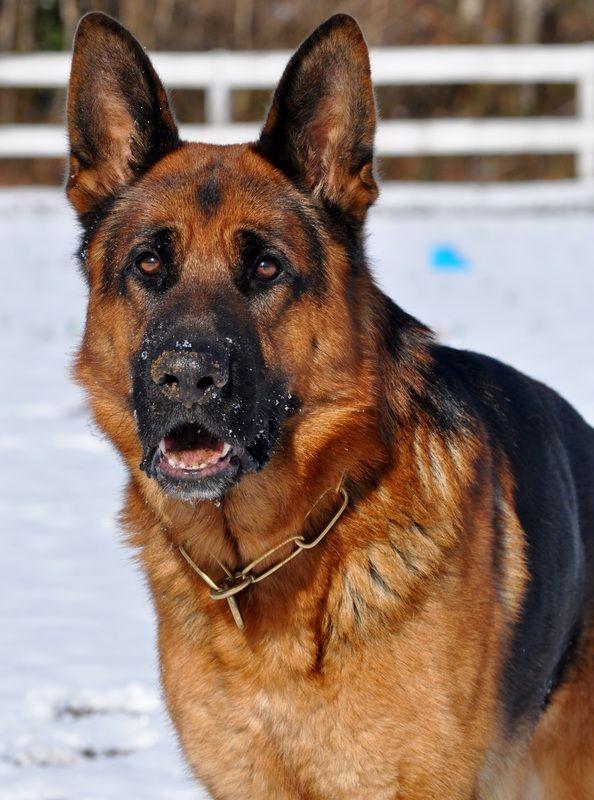 Available Pups - Blue Ridge Lane German Shepherds