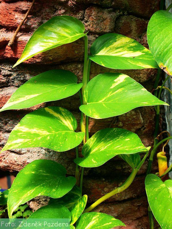 Herbář Wendys - Epipremnum pinnatum - potos
