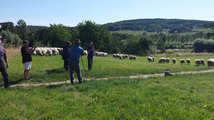 Heel veel schaapjes op bezoek van Schaapskooi Mergelland