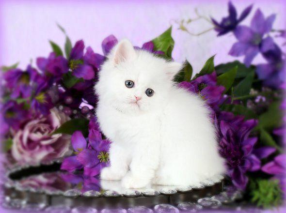 White Persian Kittens For Sale White Persian Kittens Persian Kittens Persian Kittens For Sale
