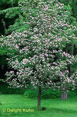 Crataegus x mordensis 'Toba'. Helmiorapihlaja, aikuisen korkeus 3-4 m. Viihtyy auringossa ja paahteisessa. Kukkii vaaleanpunaisena, vaaleampana kun 'Paul's Scarlet' loppukeväällä. Piikkejä harvakseltaan. Helppohoitoinen.