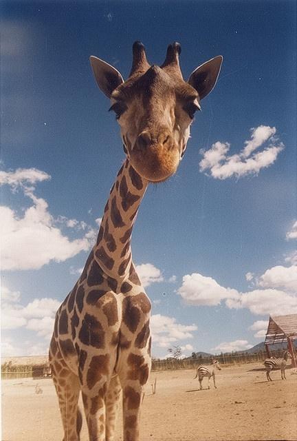 Love giraffes!!!