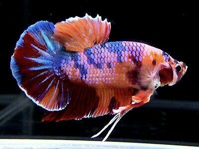 Grosir Ikan Cupang Cilacap - GROSIRKU