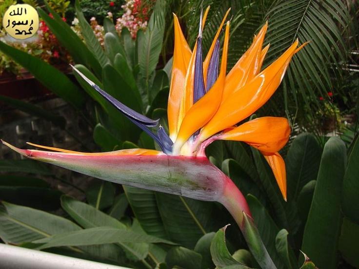 Aydınlık ve havadar yerleri seven çiçek, üzerine doğrudan gelen güneş ışığı karşısında bırakılmamalıdır.