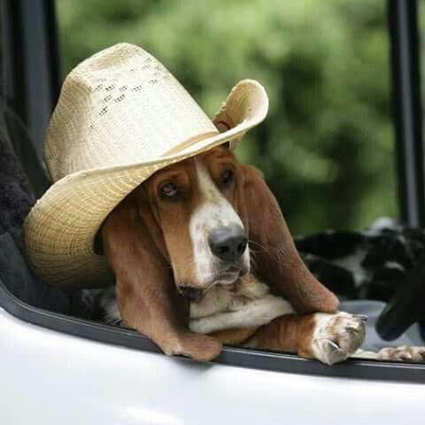 Image result for old basset hound in a car