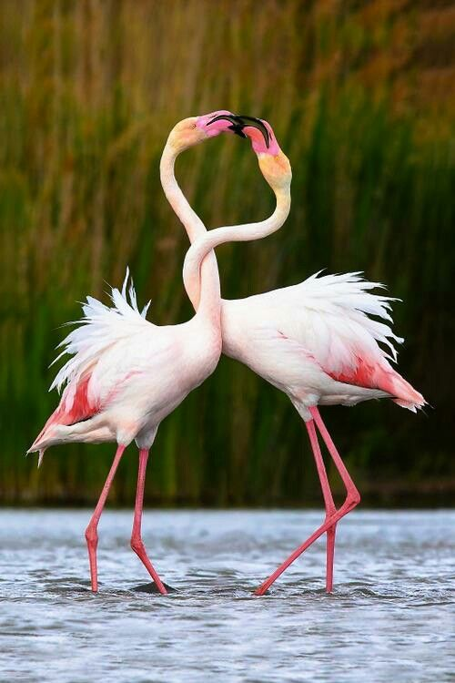 It's right out of a movie -Two flamingos entwined  in each other like a budding romance