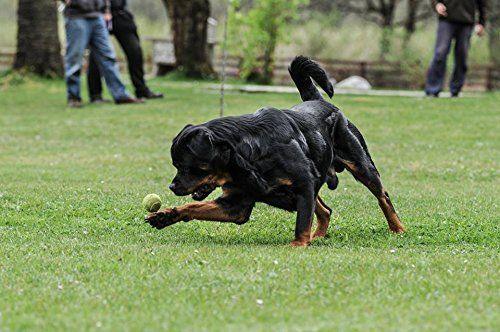 Rottweiler; Formula MASS Muscle Builder | Rotties, Dobes ...