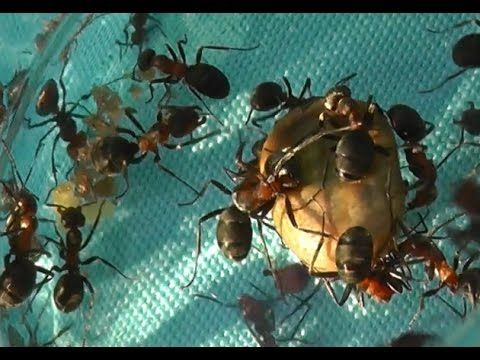 Как «вывести» муравьев. Народные советы - YouTube