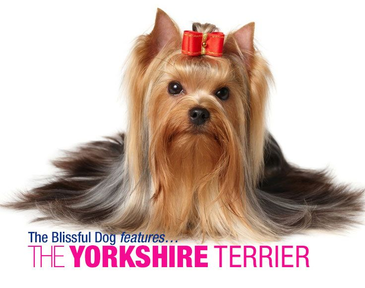 Terriers such as the Skye Terrier, Dandie Dinmont, Manchester Terrier, Maltese and the now extinct Clydesdale (Paisley Terrier) were crossed with local breeds to create a scrappy little terrier. At first, the Yorkie was much bigger than today's little darling, but by selectively breeding the smallest individuals, the size was brought down over the years.