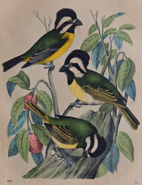 Le livre du monde. Falcunculus, (Cabezón toundra). La toundra Cabezón (Falcunculus frontatus) 2 est une espèce de passereau de la famille des Pachycephalidae. Cette espèce est endémique à l'Australie, où il habite les forêts ouvertes d'eucalyptus et de zones boisées. (wikipedia).