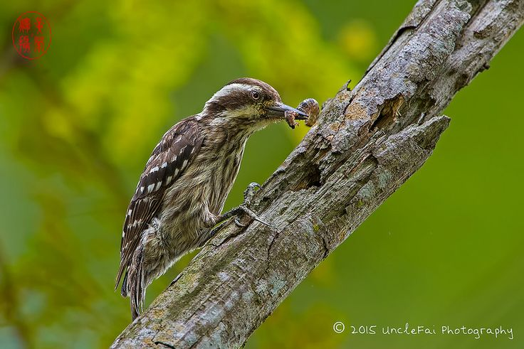 Sunda Pygmy Woodpecker (Dendrocopos moluccensis) photographed by UncleFai, possibly in Singapore on 2nd August 2015