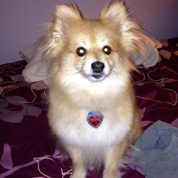 pomeranian adults 17 best ideas about pomeranian dogs on pinterest 3231