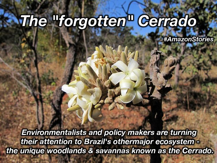 The #Cerrado hasn't gotten the attention it deserves. It's possibly #Brazil's second most important ecosystem and also highly threatened. #AmazonStories