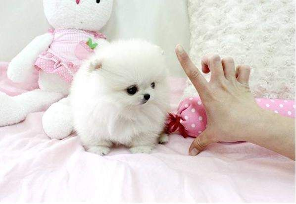 As Tall As Her Two Fingers So Cute Cute Pomeranians