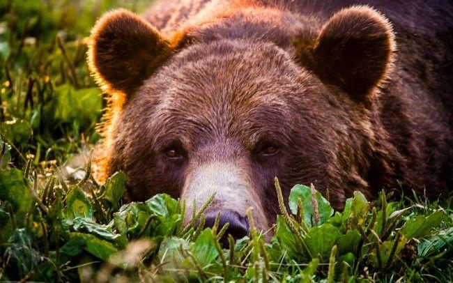 Bear Face Ultra HD 4K Wallpaper