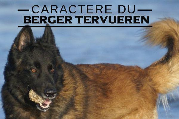 Illustration de l\'caractere du-Berger belge tervueren