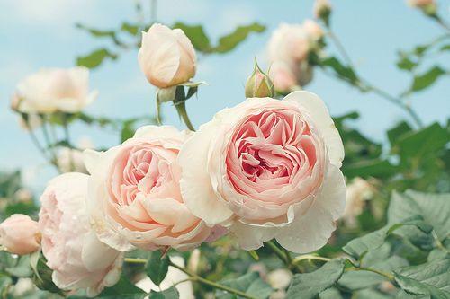 .: Pink Flowers, Growing Rose, Pale Pink, Gardens Rose, Pink Rose, English Rose, Summer Colors, Vintage Rose, David Austin Rose