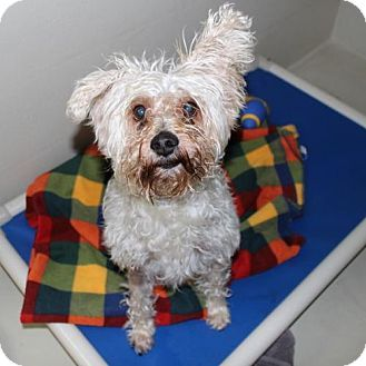 Ellicott City, MD - Standard Schnauzer/Poodle (Miniature) Mix. Meet 24907 Rudy, a dog for adoption. http://www.adoptapet.com/pet/18532911-ellicott-city-maryland-standard-schnauzer-mix