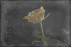 Yellow Rose, Fine Art, Photo Art