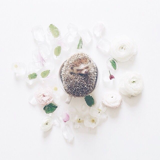 <eeps> I found the cutest IG profile in existence  @ameliahedgehog. Obviously I had to share. You're welcome!!  #hedgehog #thatsdarling #cutest