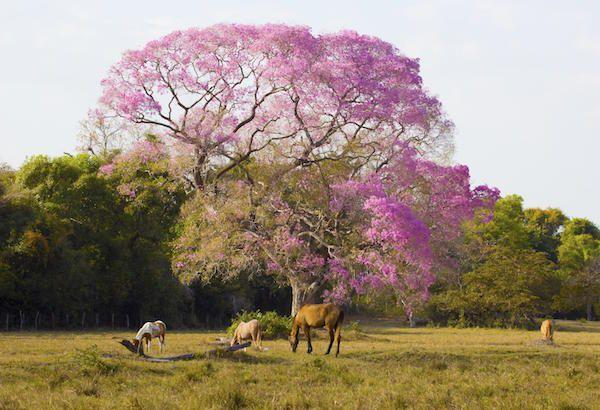 Jaguarresa till Pantanal