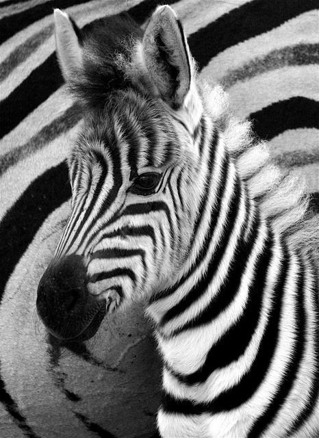Baby Zebras In Africa Africa | Baby zebra Hl...