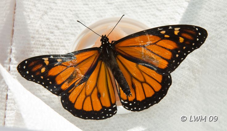 1000+ images about Monarch butterfly wing repair on ...