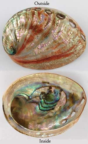 These small, red-streaked iridescent shells are great for burning cone or resin…