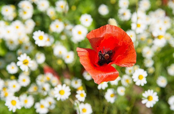 Red Poppy With Daisies On Flower Meadow By Matthias Hauser Red Poppies Flower Prints Art Flower Art