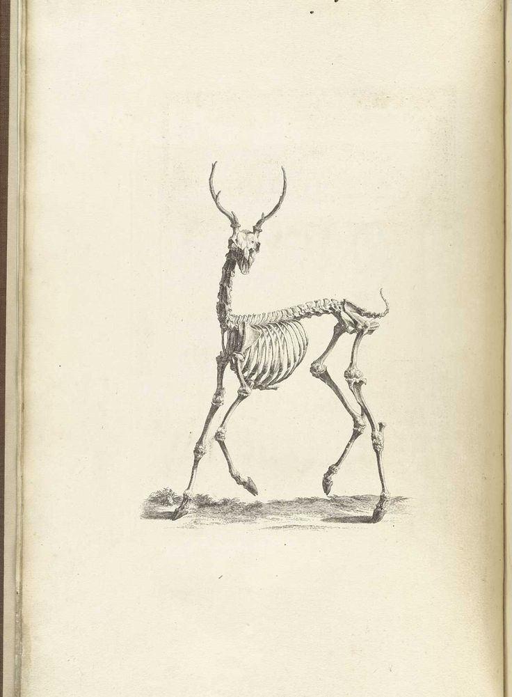 16 best Tieranatomie images on Pinterest | Deer, Animal anatomy and ...