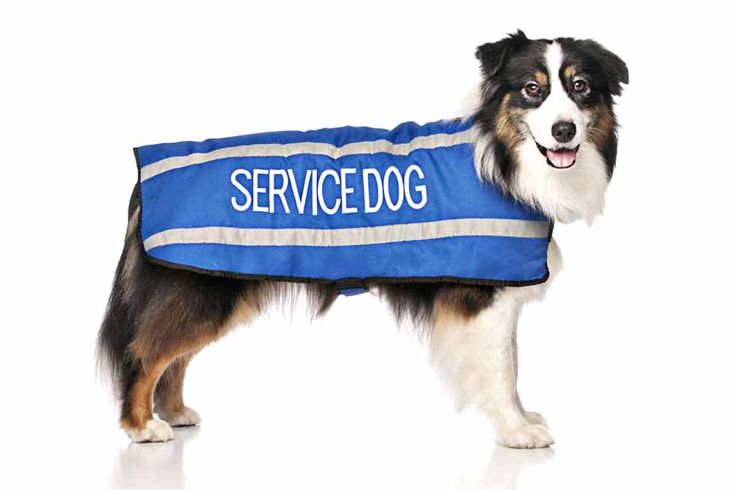 Blue SERVICE DOG coat is light weight and fleece lined for maximum comfort and warmth without being heavy and bulky. Waterproof with two reflective strips on each side these coat ensure your dog is kept warm, dry and safe when out and about in the cooler months. Secured at the front and belly with velcro straps.  fits back length 23″ (59cm) girth max 24-36″ (61-92cm) printed words on both sides. Model: Australian Shepherd