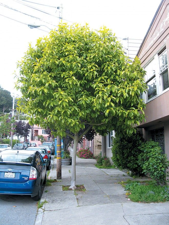 Magnolia xalba on a San Francisco street. Author's photographsYou got: California! From bay to breakers, California has it all. You'll be busy exploring the mountains, beaches, and everything in between - all while finding meaning in the culture and busy industry of California!You got: California! From bay to breakers, California has it all. You'll be busy exploring the mountains, beaches, and everything in between - all while finding meaning in the culture and busy industry of California!