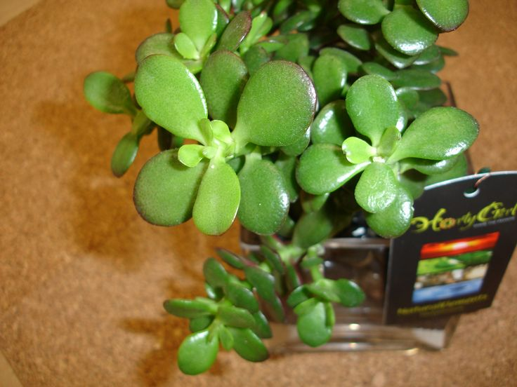 house plants identify by pic low maintenance house plant lucky jade plant
