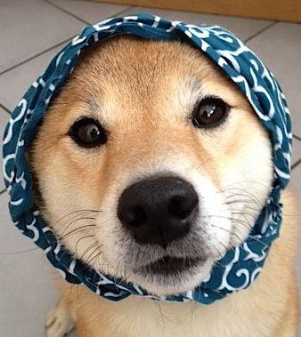 "Shiba Inu, ""Mochi"" 柴犬ももちゃん #dog"