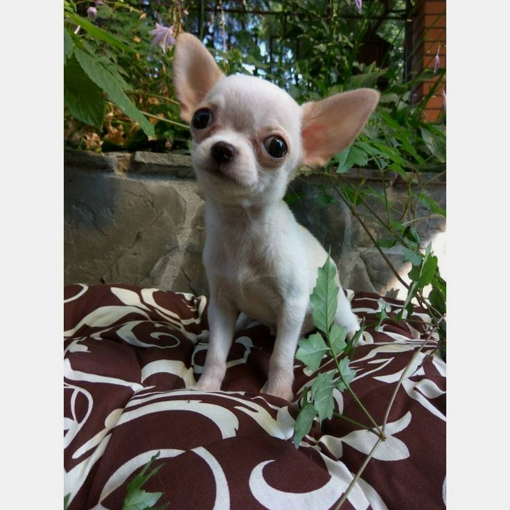 Pin By Mary S Picklesimer On Chihuahua Chihuahua Puppies