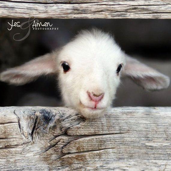 Ciao mondo  fotografia di agnello  belle carte e di YesandAmen, $5.50