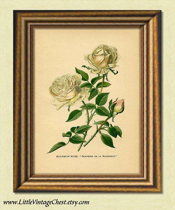 Black Friday! Buy 1 Get 2! - BOURBON ROSE  Antique Botanical Art Print  by littlevintagechest, $7.00