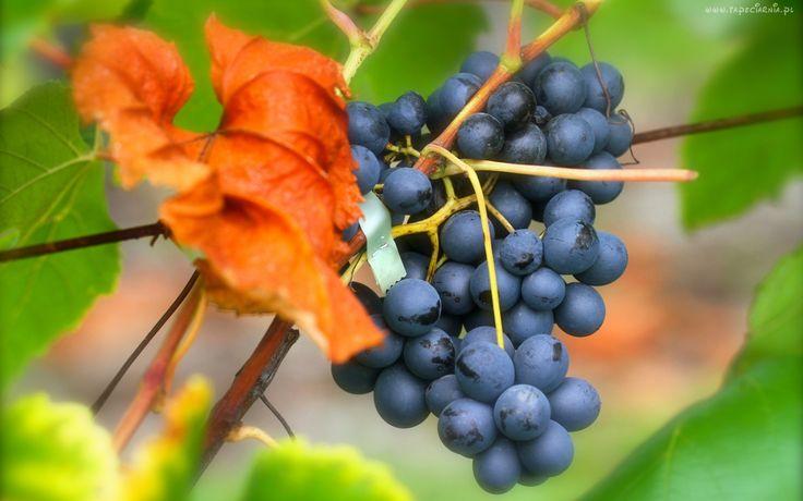 Winogrono, Suchy, Liść