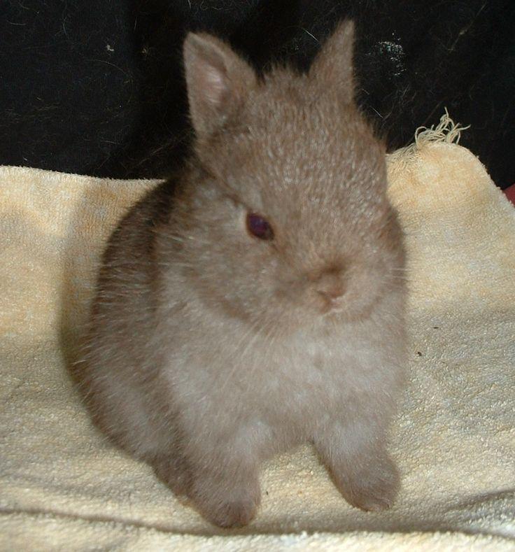 ~ Netherland Dwarf Rabbit ~