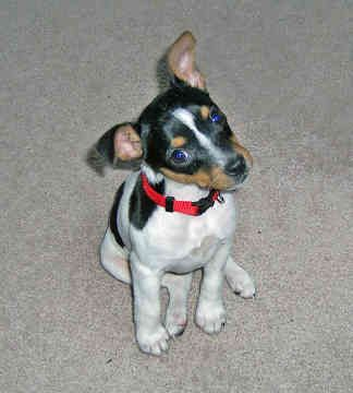 Rat terrier puppy. Too cute!!!