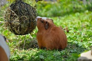 Information about dry food for guinea pigs.