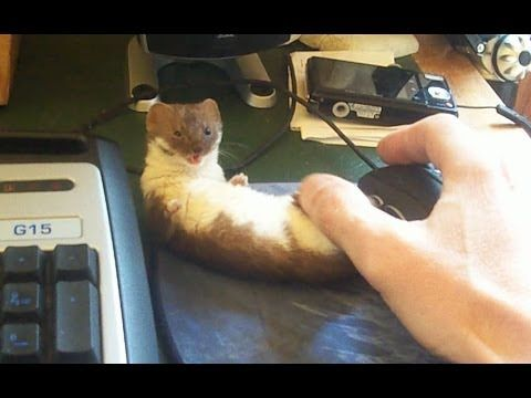 An tiny weasel named Ozzy happily plays with his human Frisco68's thumb just as he starts to play a video game. Yup, he loves to play. So do I. But before I get to go online and start killing, I'm ...