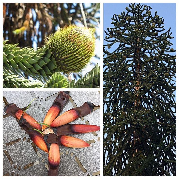 15 Fresh (Araucaria araucana)  - Monkey Puzzle Tree Seeds (Free Shipping) Nuts  | eBay