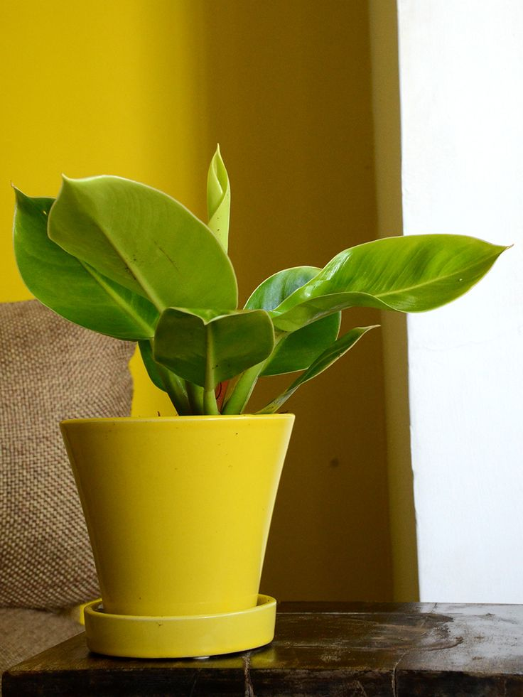 Buy Moonshine (Philodendron)