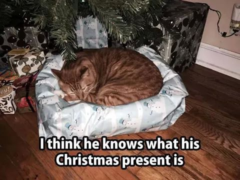 I think he knows what his Christmas present is ~ cat in a wrapped pet bed