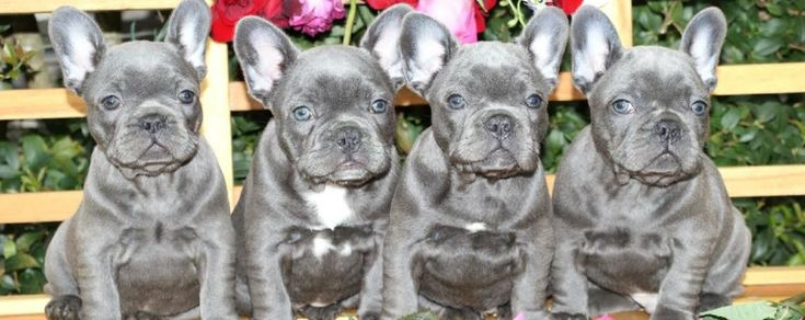Animals And Pets Animals And Pets Blue French Bulldog Puppies
