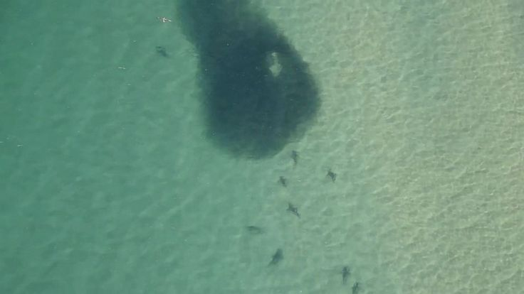 A large number of sharks were spotted alarmingly close to shore in southeastern Australia today as families flock to the beautiful beaches to enjoy the warm weather and time off from school.   A surveillance helicopter and drones circling the skies over the New South Wales coast captured... - #Australias, #Beaches, #Large, #Number, #Sharks, #Spotted, #TopStories