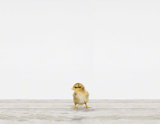 Baby Chick | Sharon Montrose | The Animal Print Shop | Baby Animal Photography Prints